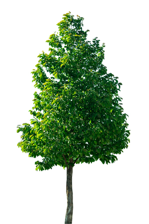 Isolated tree on a white background with clipping path.