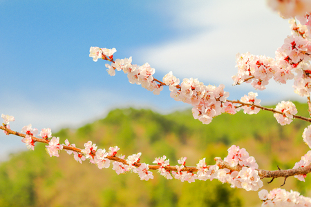 Beautiful cherry blossom , sakura  in spring time (Soft focus ) .