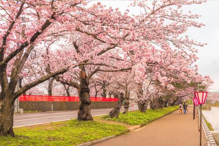 Beautiful cherry blossom sakura festival  of Muramatsu Park in spring time, Niigata Prefecture,Japan. Stock Photo - 99090847