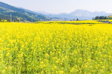 Beautiful Yellow flowers blossoming in spring day,Nanohana flowers in Japan.