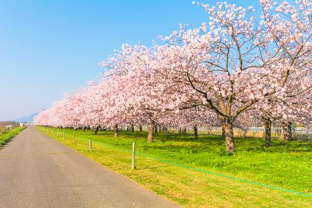 Bellissimi alberi di ciliegio in fiore o sakura in fiore accanto alla strada di campagna in primavera.
