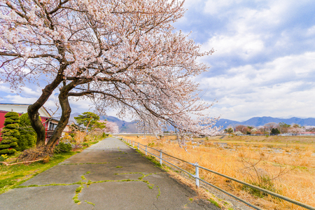 Beautiful cherry blossom , sakura  and  a country road  in spring day with  blue sky  background