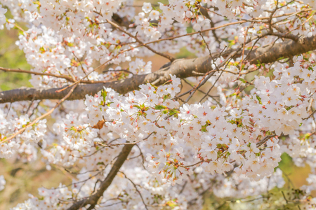 Beautiful cherry blossom or sakura in japanese in spring time.