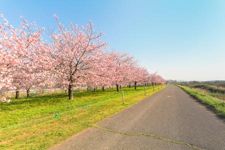 Hermosos cerezos en flor o sakura que florecen junto a la carretera nacional en primavera, Japón.