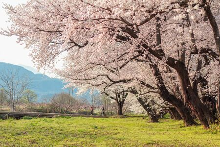 Beautiful cherry blossom or sakura in spring time  in Japan. Stock Photo