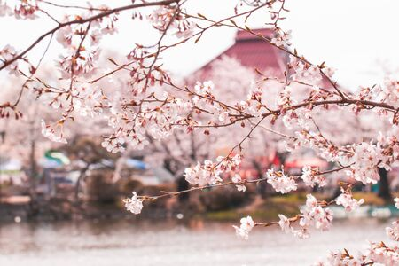 Beautiful cherry blossom or sakura in spring time