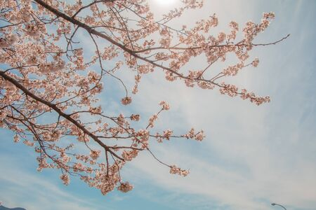 Beautiful cherry blossom or sakura in spring time with blue sky  background in Japan. Stock Photo