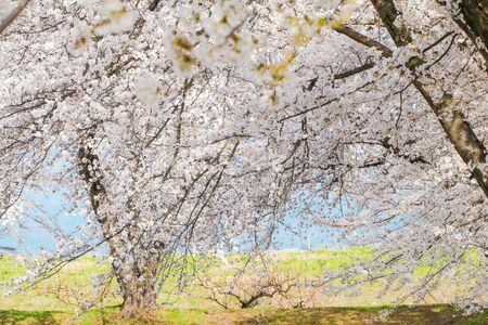 Beautiful cherry blossom trees, sakura in spring time