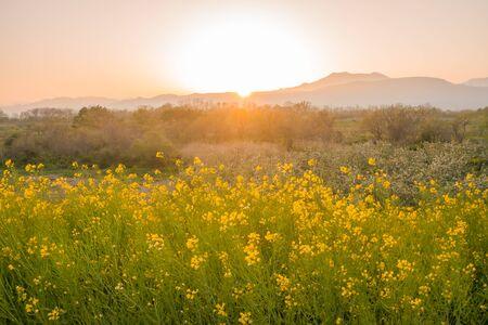 Beautiful Yellow flowers blossoming in sun set,Nanohana flowers in Japan.