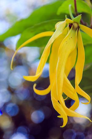 annonaceae: Yellow Flower Stock Photo