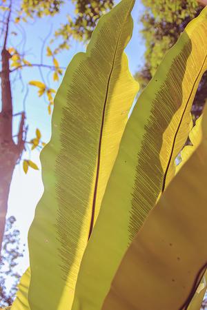 three leaf: Three leaf