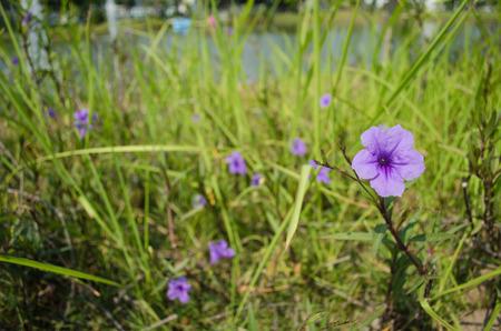 petunia wild: purple ruellias flower bloom (Ruellia tuberosa Linn. Waterkanon, Watrakanu, Feverroot, Popping pod) : blurred background : select focus front Ruellia