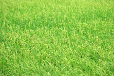 Rice fields background, Green field