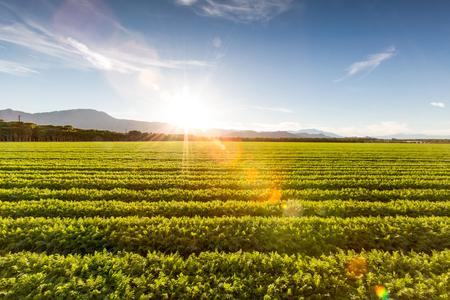 Fertile Farm Field of Organic Crops Sunset