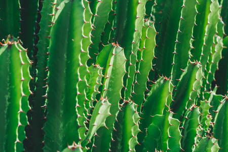 Green San Pedro Cactus, thorny fast growing hexagonal shape Cacti perfectly close captured in the desert.