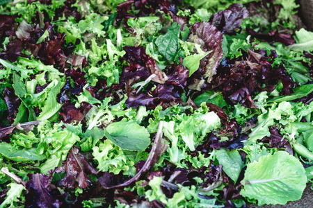 Organic lettuce, colorful nutritious, delicious and healthy European leafy vegestable salad  ready-to-eat.
