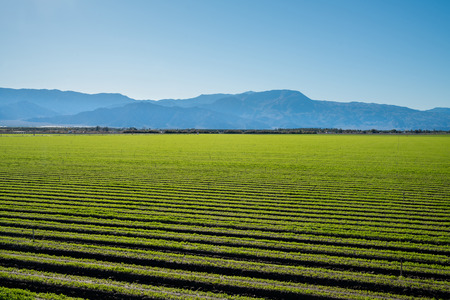 fertile land: Organic  lettuce growing in a very Fertile agricultural field in California fertile land, glowing summer  sun, blue sky and the eye catching wave shaped mountains.