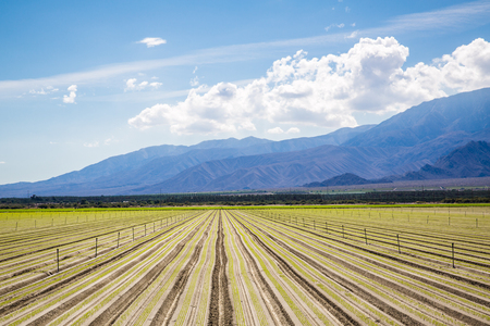 Fertile Agricultural Field recently planted with Organic Crops in a row  growing on Fertile Farm Field in California with clear blue sky and mountains in background.