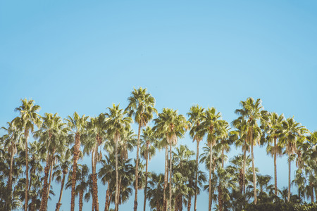 blue summer sky: Half body shot of California palm trees with the summer blue sky background