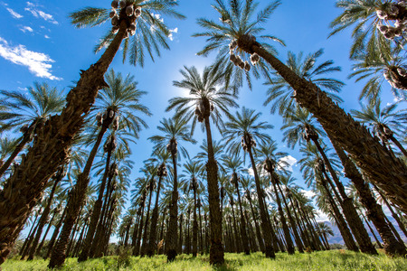 Amazing palm trees grows in uniformed with beautiful blue sky with white clouds background above. 版權商用圖片
