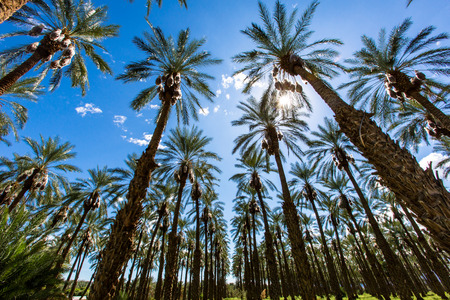Palm Springs California with lush Palm Trees being the focal point of the image and blue sky in the background