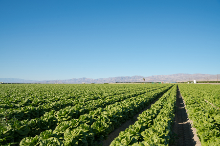 aligned: Organic lettuce farm agricultural industry perfectly aligned in California mountain background