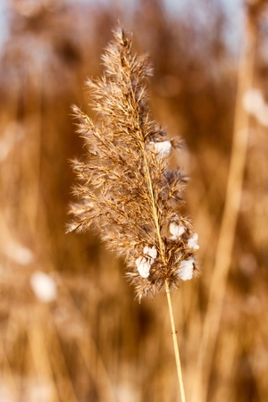 freeze dried: dried reed in the winter with smoothed background Stock Photo