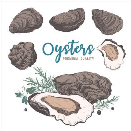 vintage  with oysters end rosemary. Seafood vector for restaurant and cafe menu. Isolated.