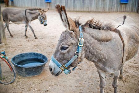 bucket water: Dos burros por un cubo de agua Foto de archivo