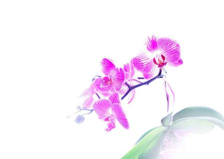 optionnel: Orchid�e pourpre aux franges de lumi�re en option