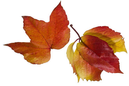 em: Freed single leaf in reddish color on basic wei�em