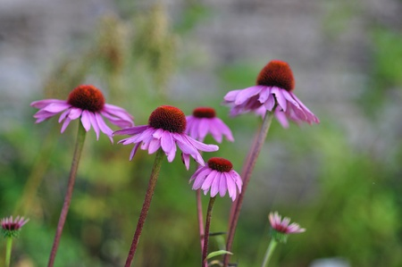 stimulate: Purple Echinacea Flowers, the roots of this plant being used in alternative medicine to stimulate the immune system. Stock Photo