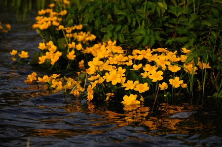 Yellow flowers half submerged in rippling flowing water with reflection. Stock Photo - 12249894