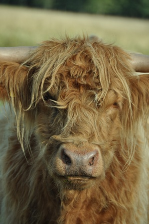 closeup cow face: Closeup of the face of a shaggy Highland cow. Stock Photo