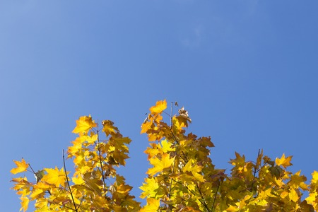 lush foliage: Autumn leaves with the blue sky background. Low angle view. Copy space