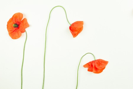 fragility: Red field poppies blossoms and petals on white background. Stock Photo