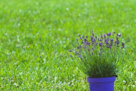 Lavender flowerpot on green grass background