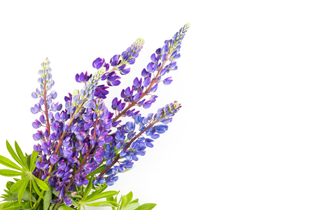 Bouquet of lupines on white background. Stock Photo