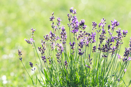 Lavendel bloeit op het veld Stockfoto