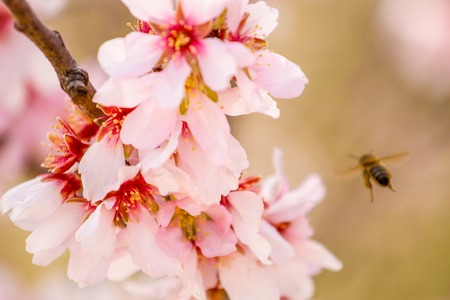 Honey bee gathering pollen from almond tree blossoms Stock Photo
