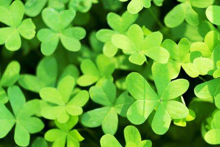 Green natural growing clover shamrocks leaves background. St.Patricks day holiday symbol Stockfoto