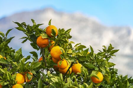 Valencian orange on the tree with mountains background. Valencia province. Spain