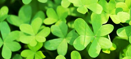 Green background with natural growing clover shamrocks. St.Patricks day holiday symbol. Stockfoto
