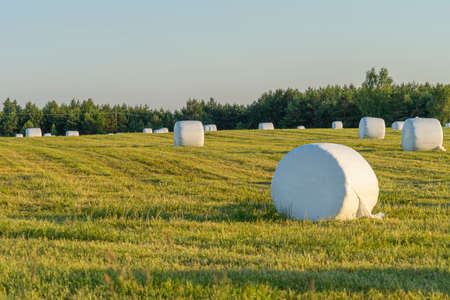 Rural landscape with hay bales packed in white plastic on the field with green grass surrounded with forest in sunny summer day