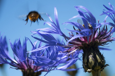 Two cornflowers and blue sky with bumblebee on the background