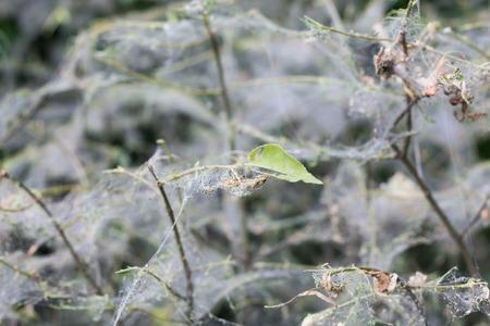 Big Spider Web on a Bush, close-up.