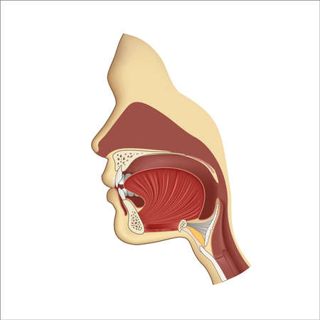 Human body anatomy gullet system. Head nasal and throat breathing structure. Teeth and tongue in mouth, face illustration. Medical profile inside example