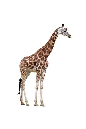 Isolated giraffe. All figure of giraffe. Profile view. Standard-Bild