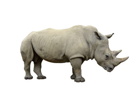 Isolated white rhinoceros. Ceratotherium simum. Profile pose.