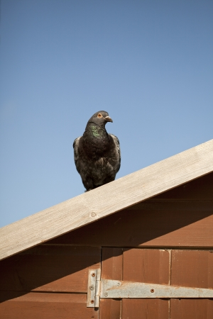 Pigeon on the roof, Alderney island, United Kingdom